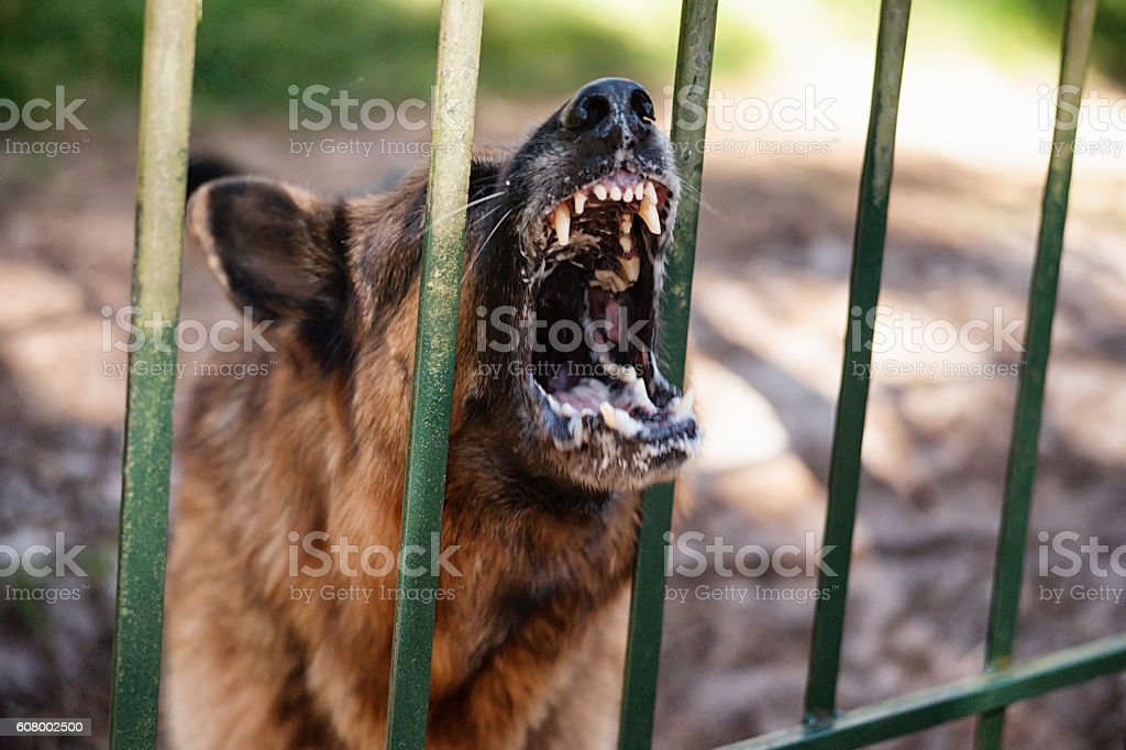 Barking german shepherd stock photo
