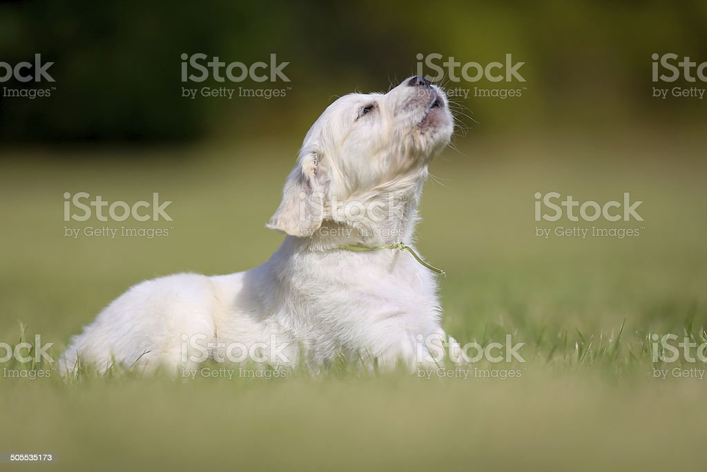Barking golden retriever puppy stock photo