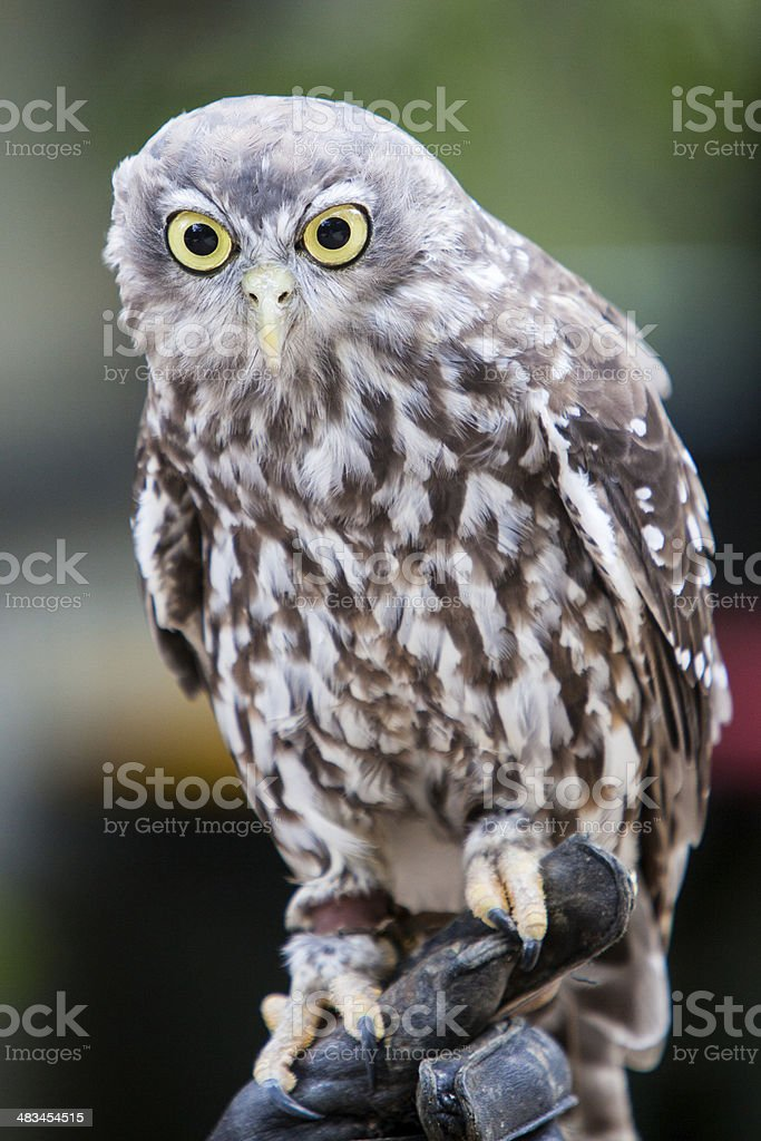 Barking Owl royalty-free stock photo