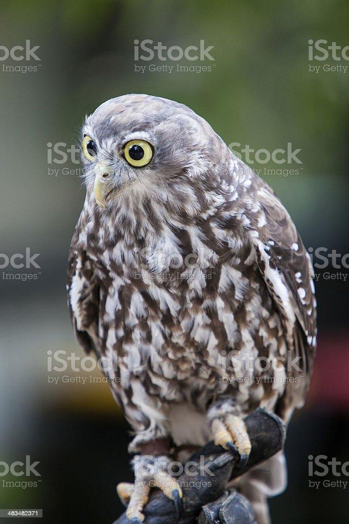 Barking Owl royalty-free stock photo