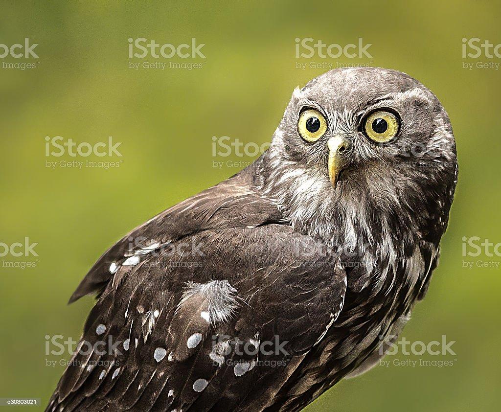 Barking Owl Staring stock photo