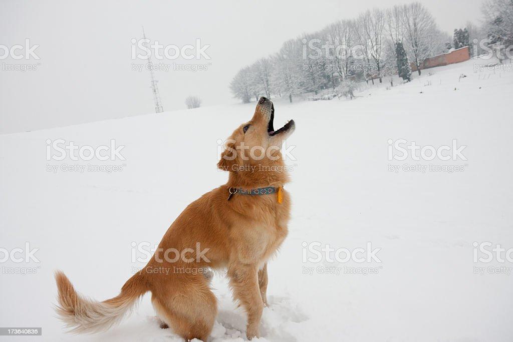 Barking royalty-free stock photo
