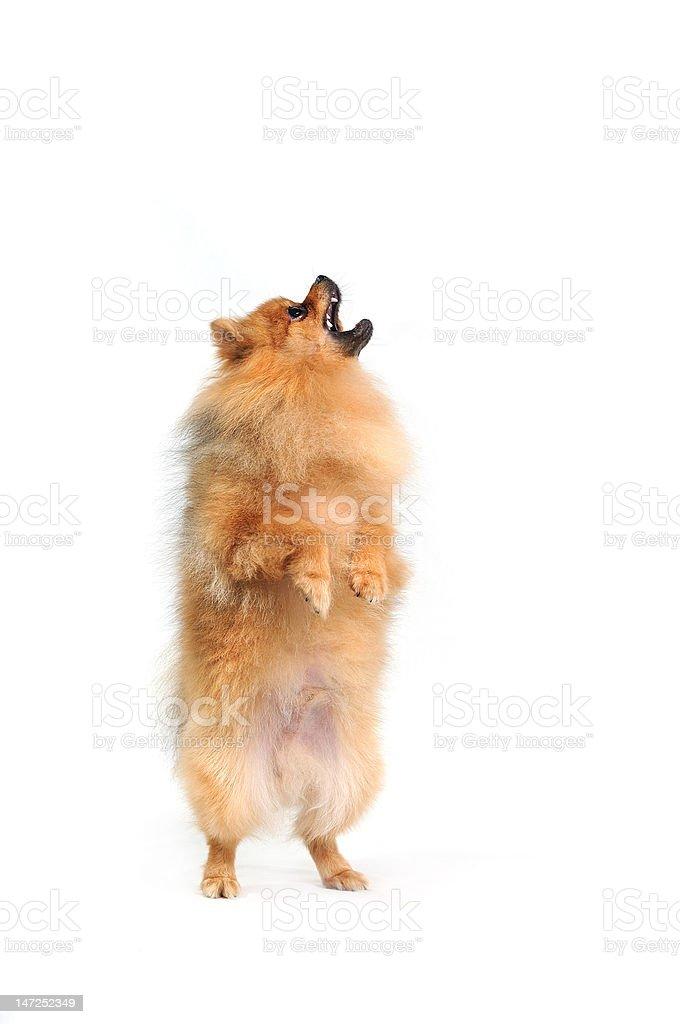 barking Spitz stock photo