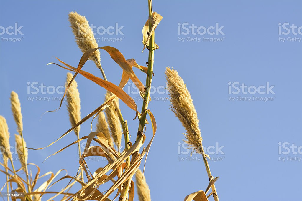 Barley aganist the sky stock photo