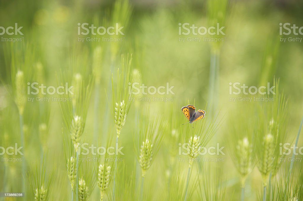 Barley background with butterfly royalty-free stock photo