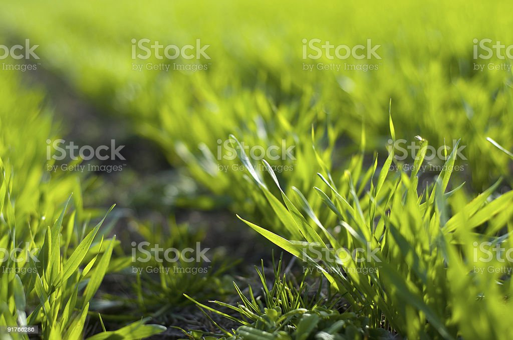 Barley born royalty-free stock photo
