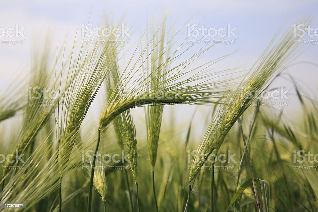 Barley close-up stock photo