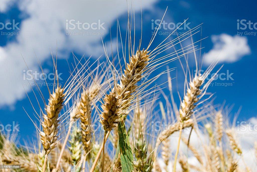 Barley (grain) closeup with blue sky royalty-free stock photo