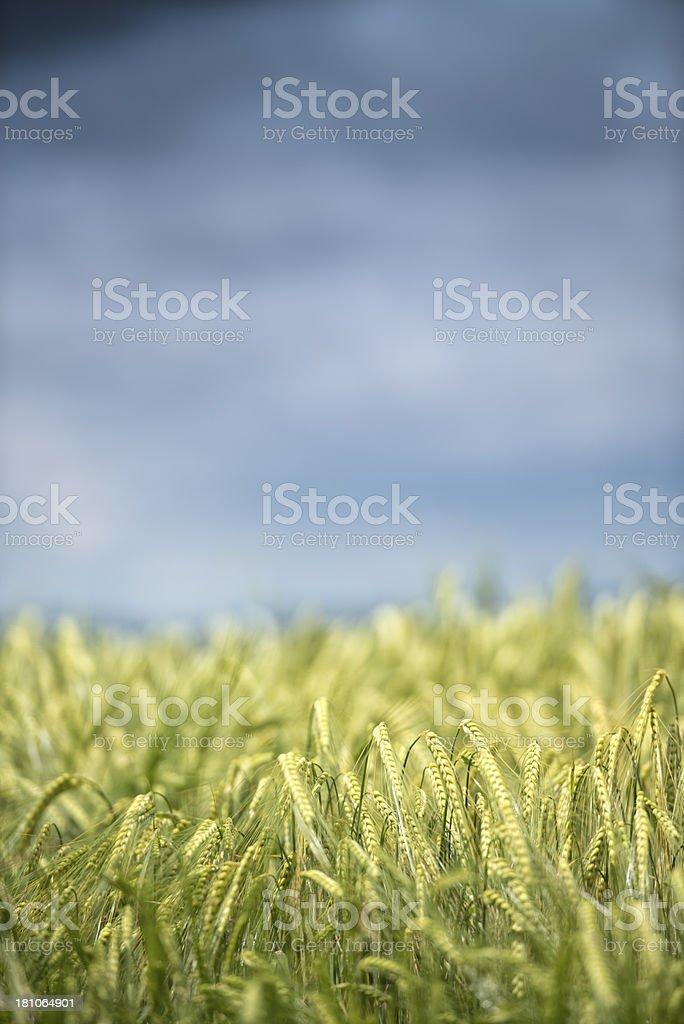 Barley corn against dramatic sky stock photo