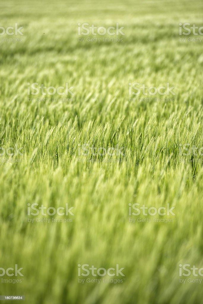 Barley corn in the eveningh sun stock photo