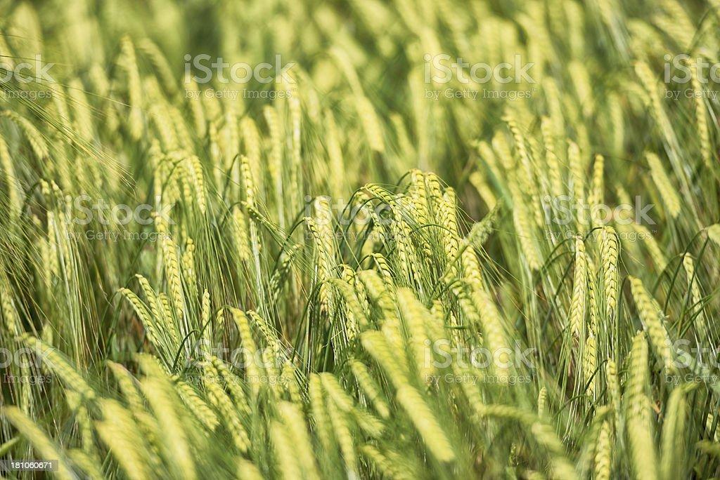 Barley corn in the sun light royalty-free stock photo