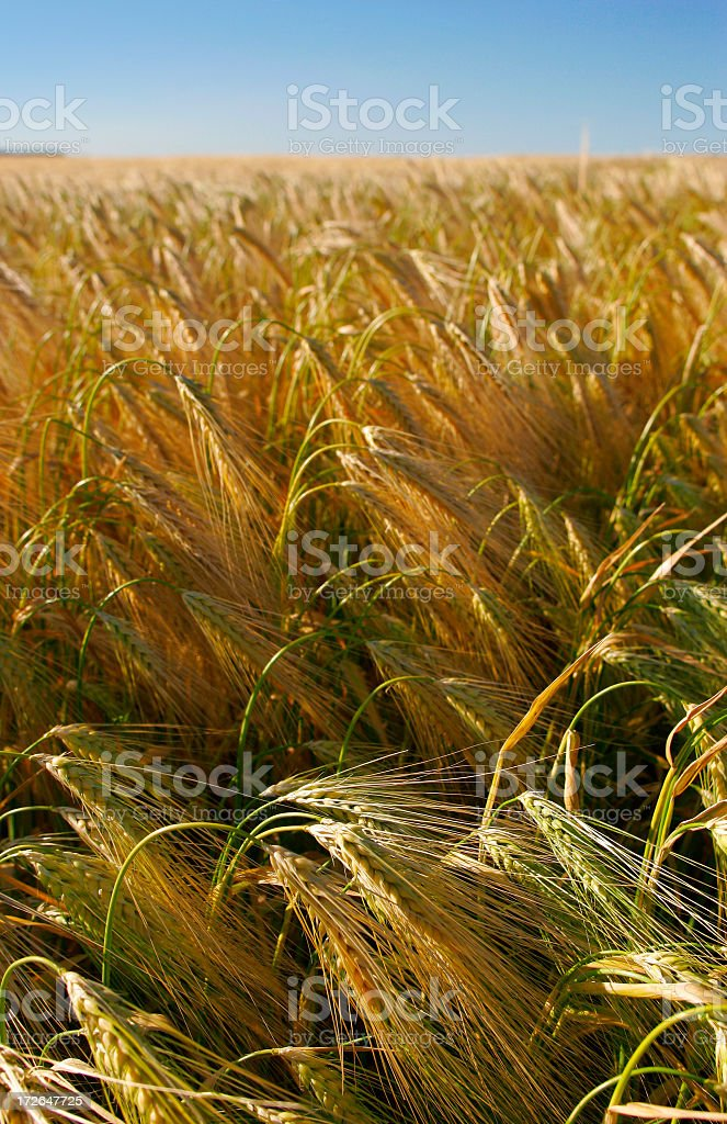 Barley Corn royalty-free stock photo