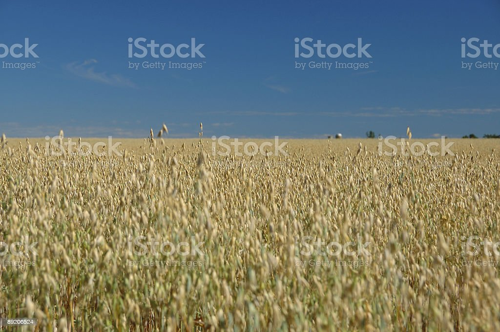 Barley details in the Ontario countryside stock photo