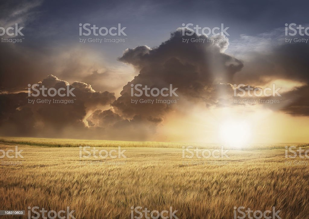 Barley Field and Cloudy Sky in Sunset Light royalty-free stock photo