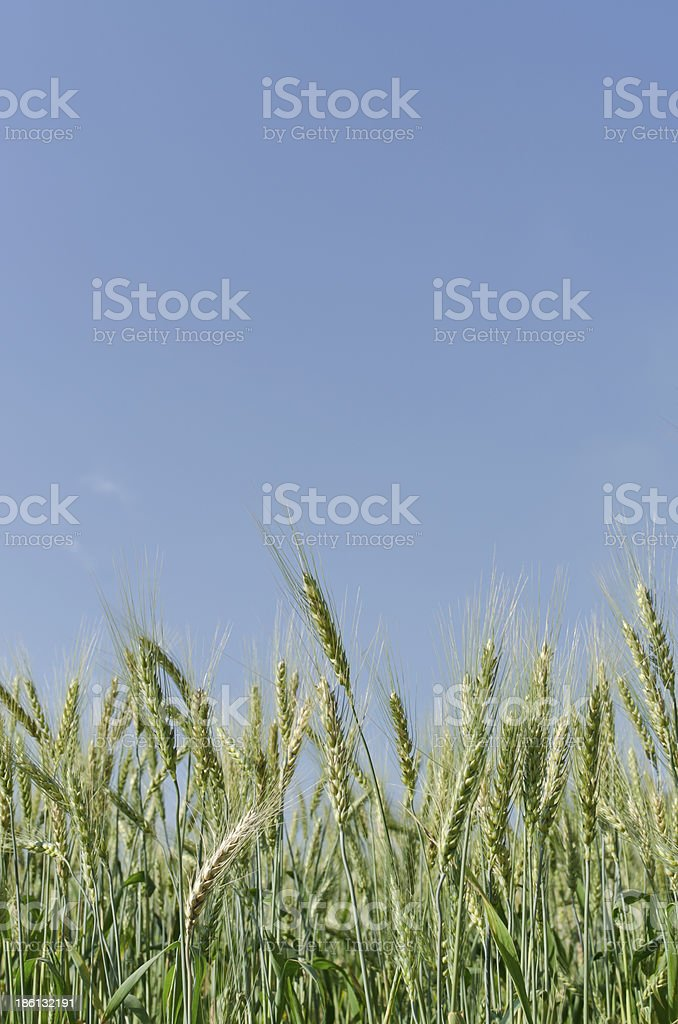 Barley field blue sky royalty-free stock photo