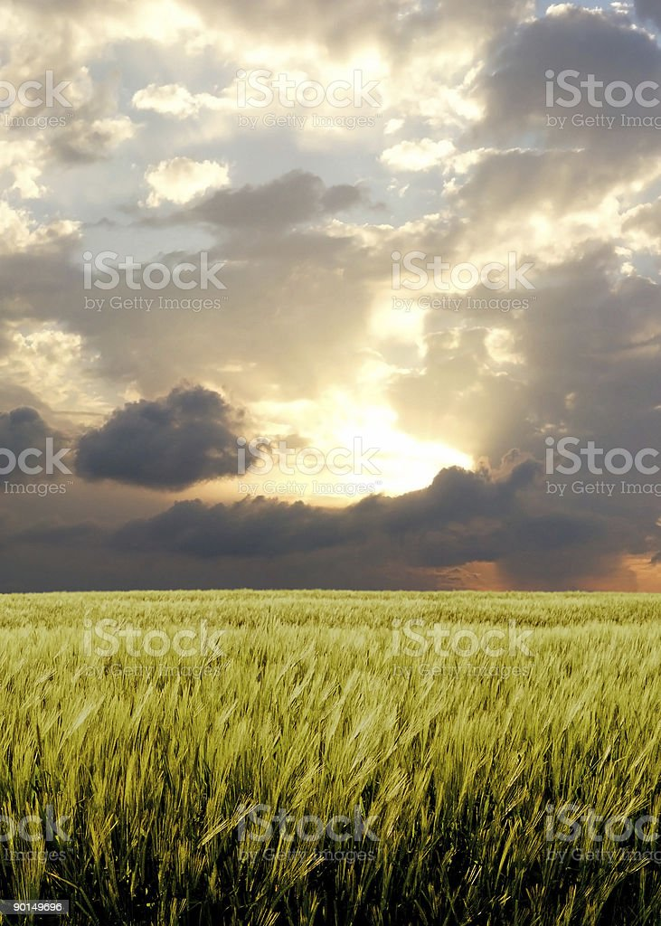 Barley field during stormy day royalty-free stock photo