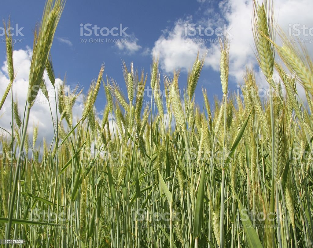 barley field in spring to summer time royalty-free stock photo