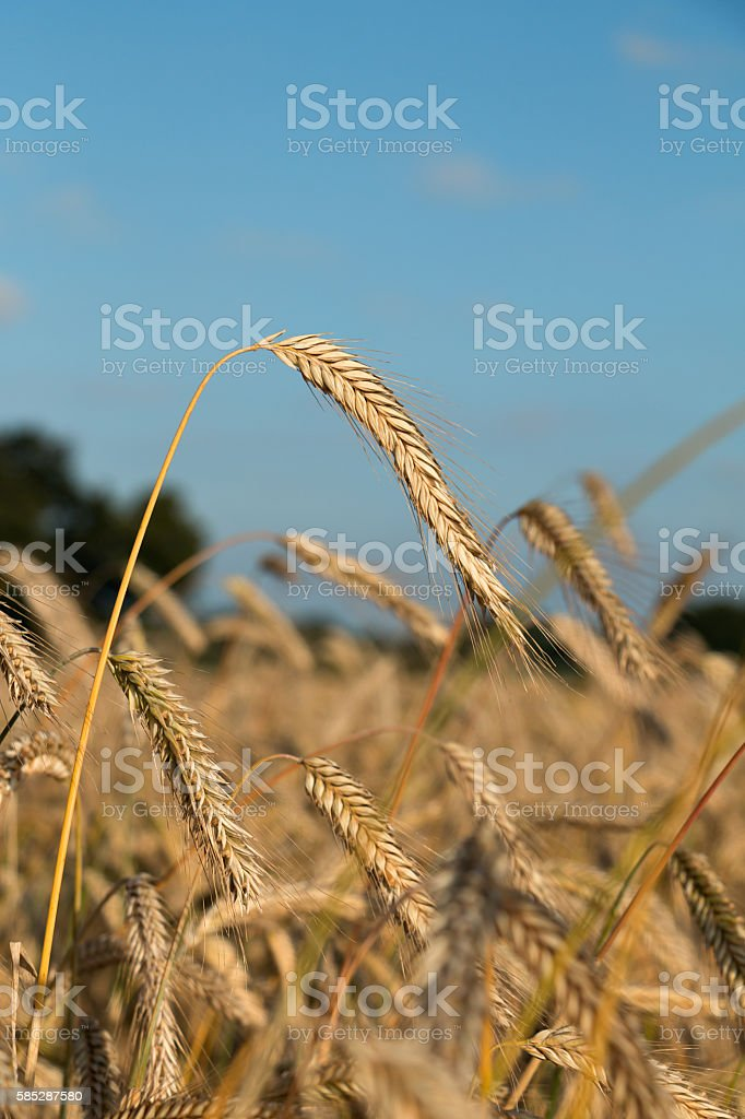 Barley field in summer stock photo