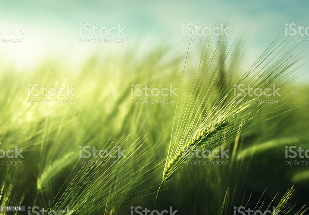 barley field in sunset time stock photo