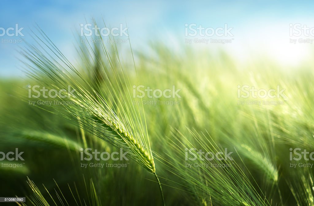 barley field in sunset time royalty-free stock photo