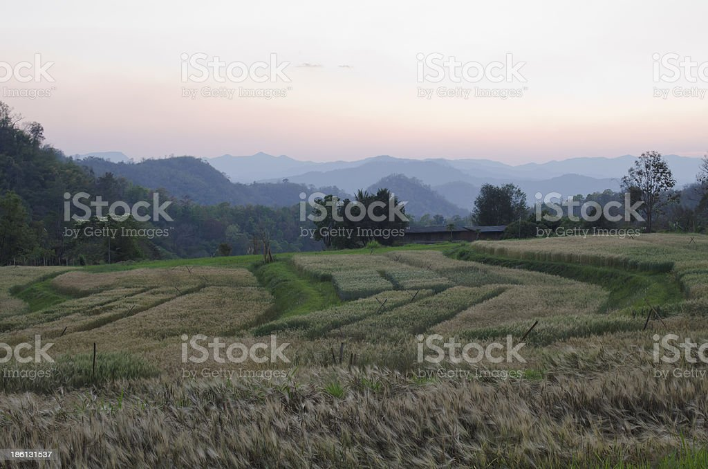 Barley field in the evening royalty-free stock photo