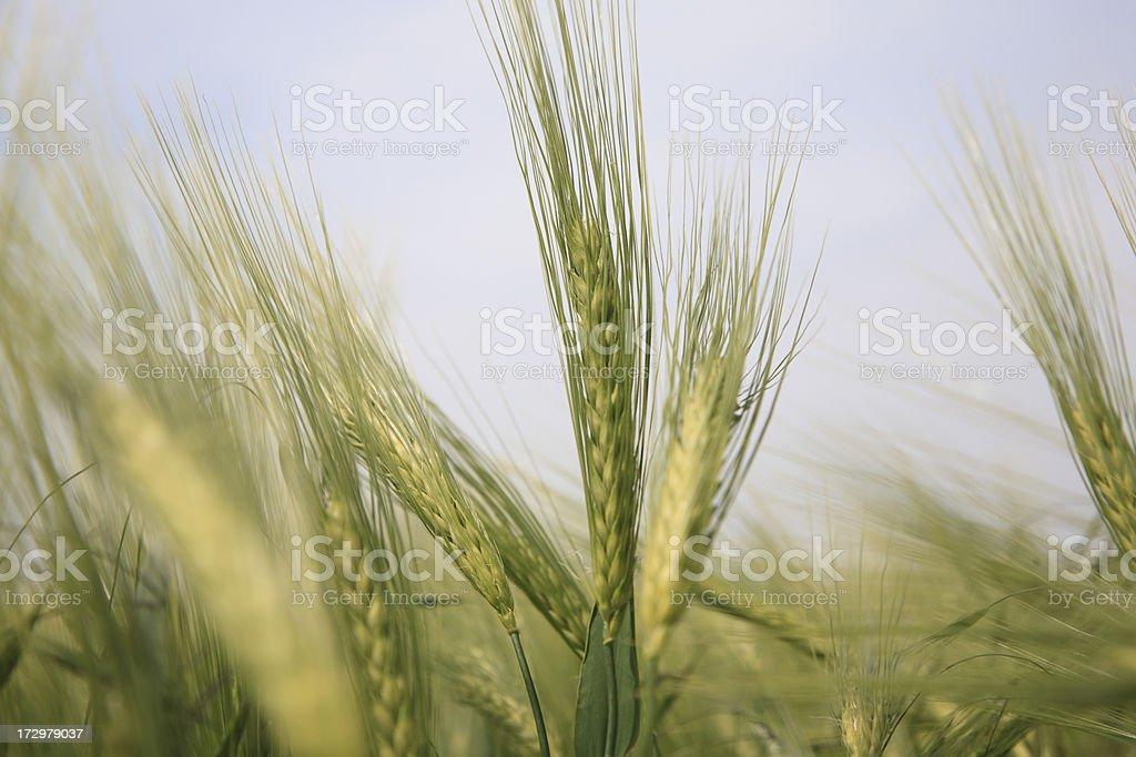 Barley field stock photo