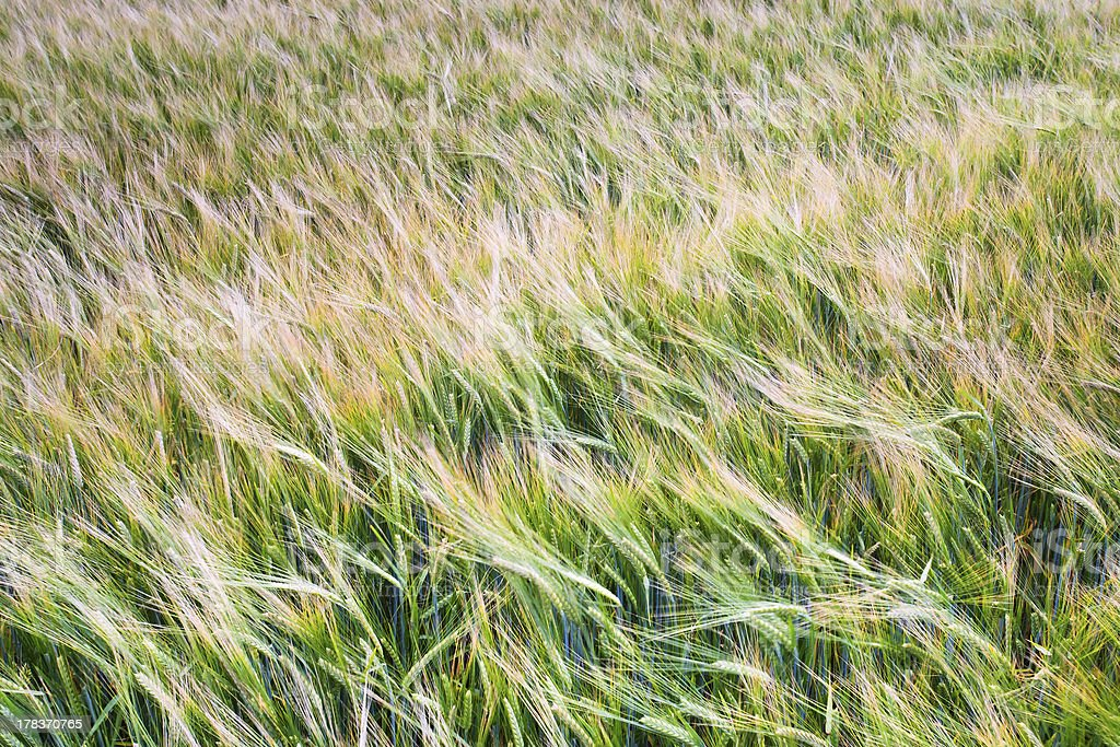 barley field royalty-free stock photo