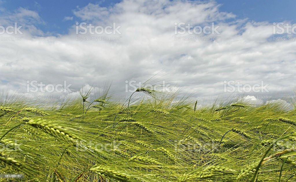 Barley field. royalty-free stock photo