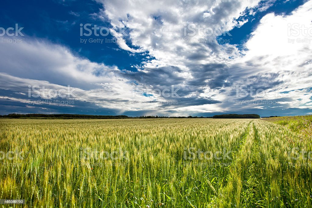 Barley Field stock photo