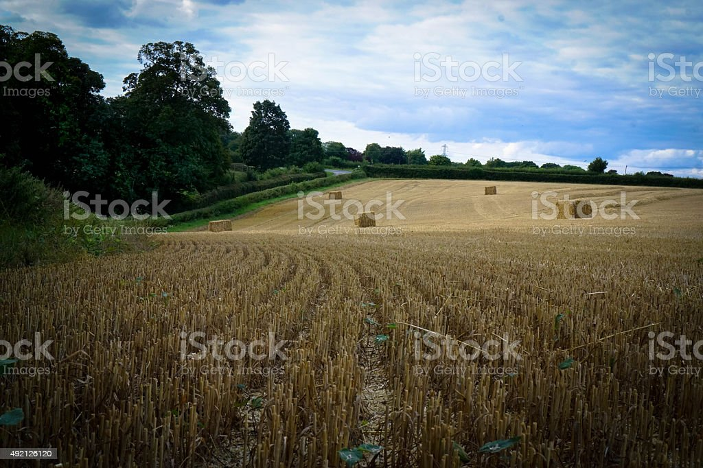 Barley field stubble stock photo