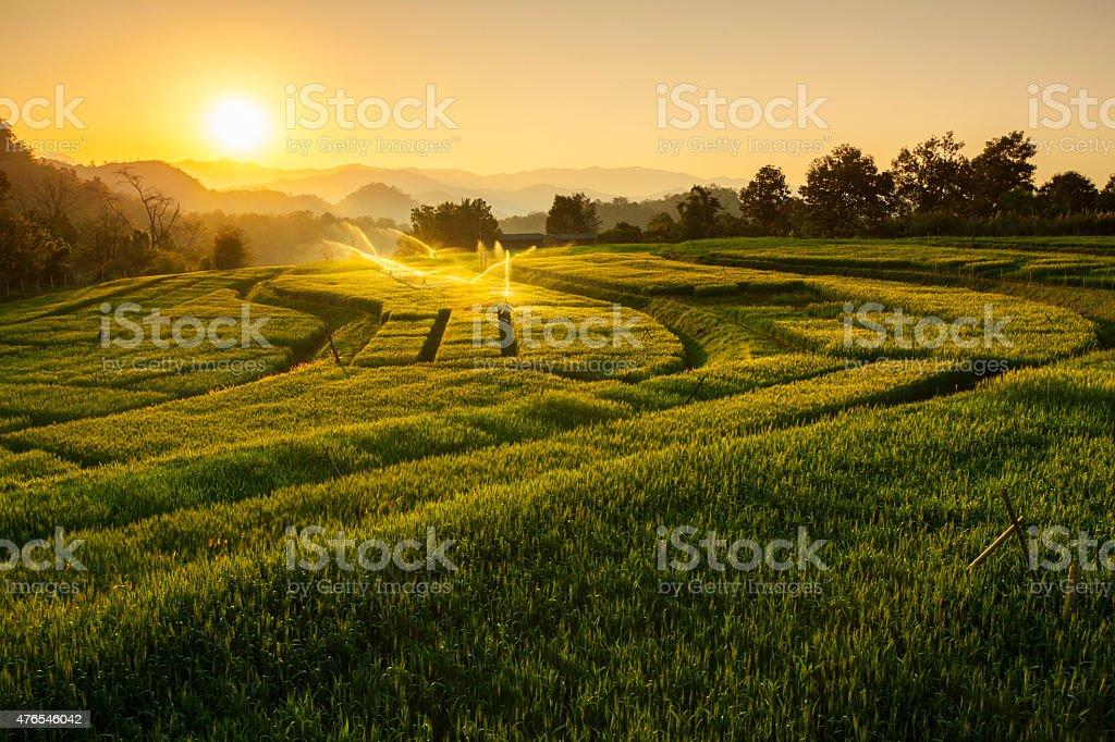 Barley Field Sunset at Samoeng Chiang Mai, Thailand stock photo