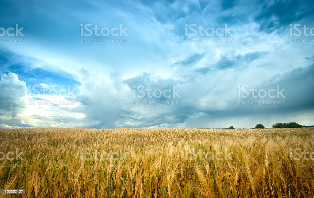 Barley Field under agitated sky stock photo