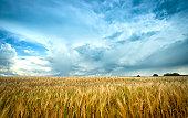 Barley Field under agitated sky