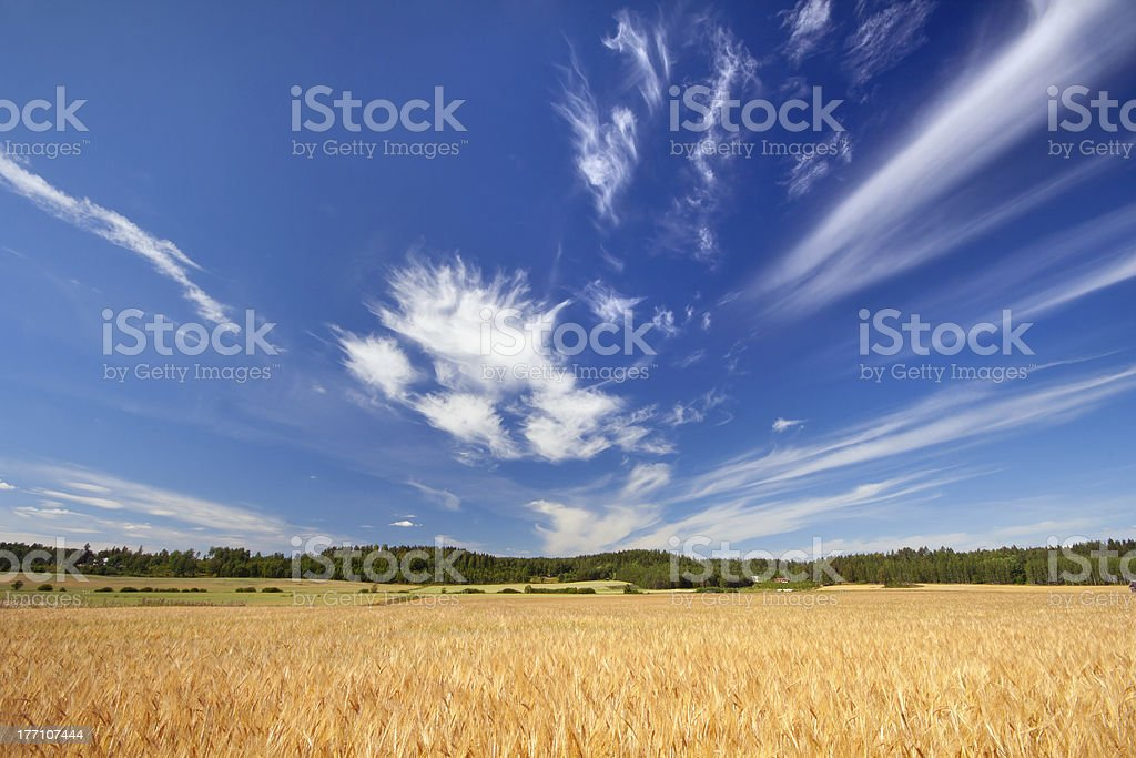 Barley field with blue sky royalty-free stock photo