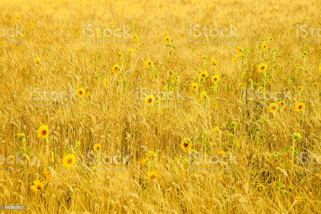 Barley field with wild flowers royalty-free stock photo