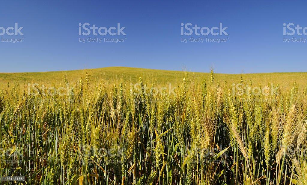 barley fields stock photo