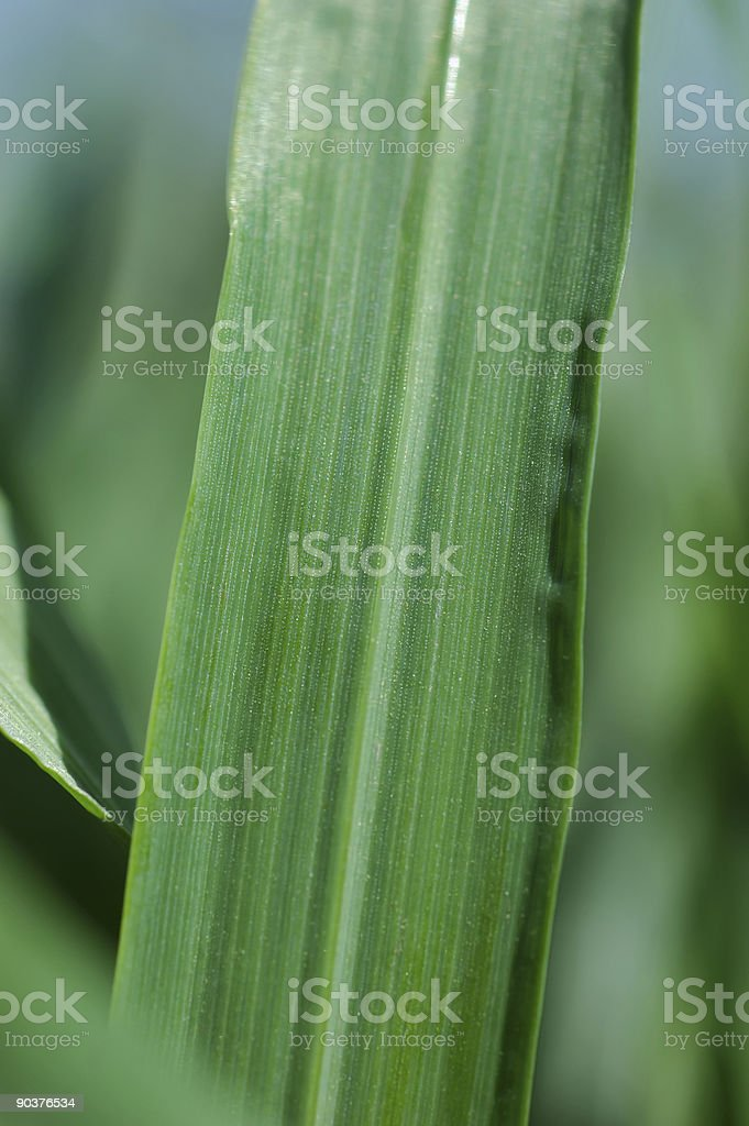 Barley Grass Macro stock photo