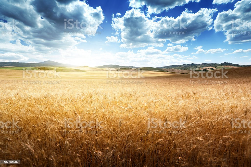 barley  hills Tuscany, Italy stock photo