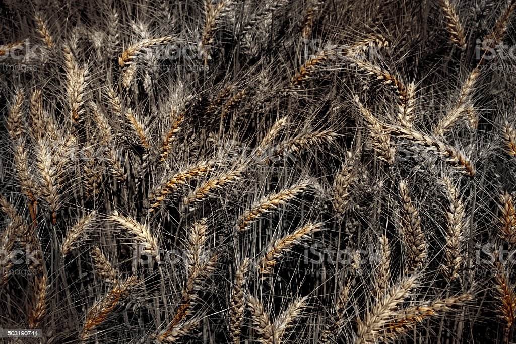 Barley in artistically alienated color stock photo