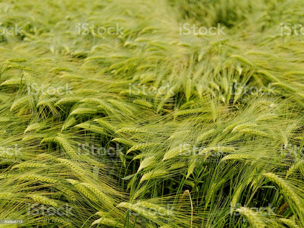 Barley in Early Summer royalty-free stock photo