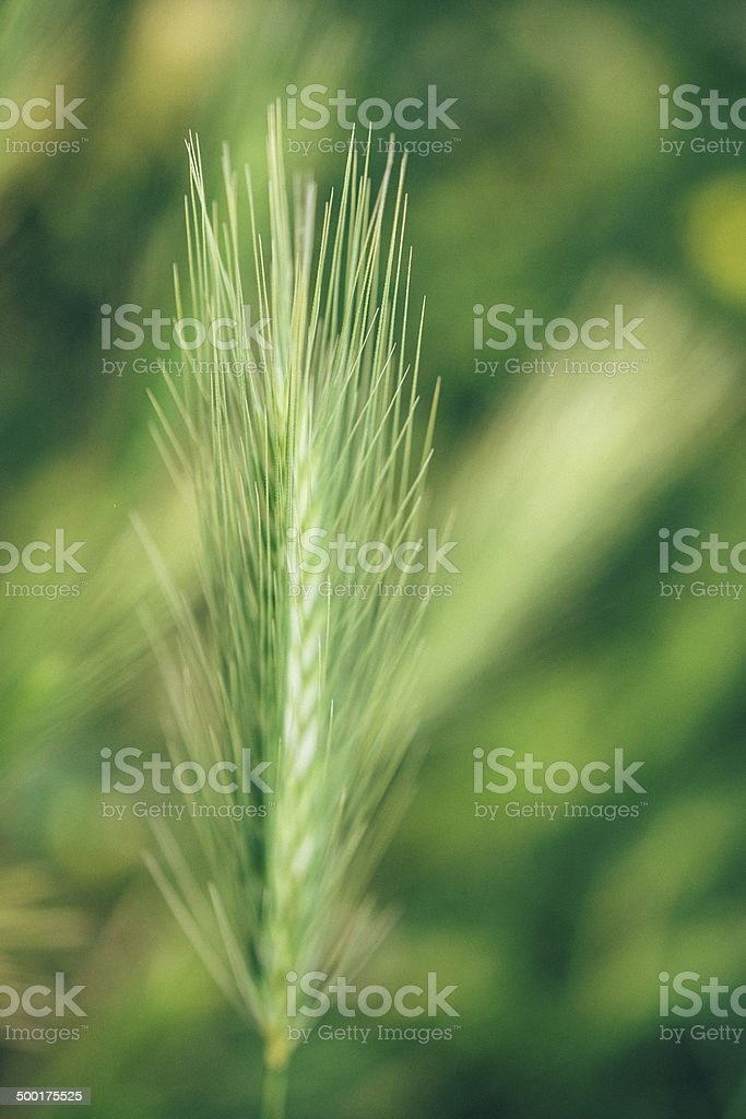 Barley in macro vintage photo, selective focus royalty-free stock photo