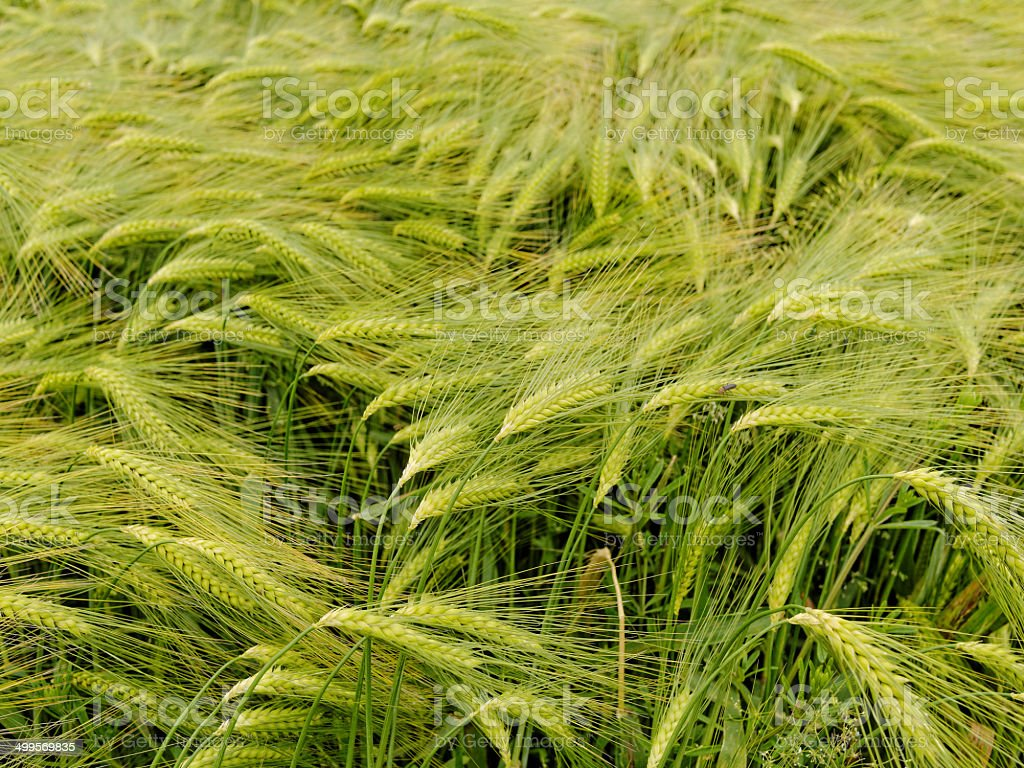 Barley In Summer royalty-free stock photo
