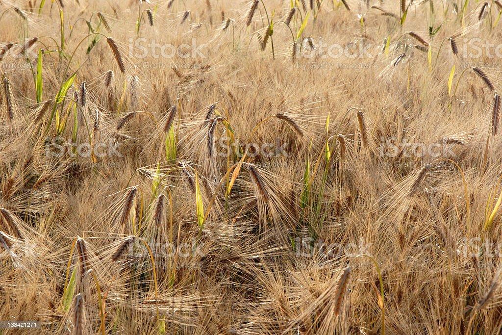 barley in sun stock photo