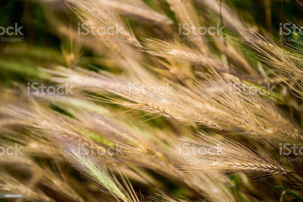 Barley in the close up photo in nature royalty-free stock photo