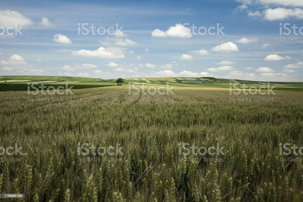 Barley landscape royalty-free stock photo