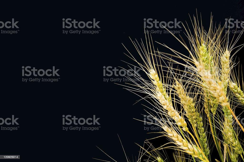 Barley on Black royalty-free stock photo