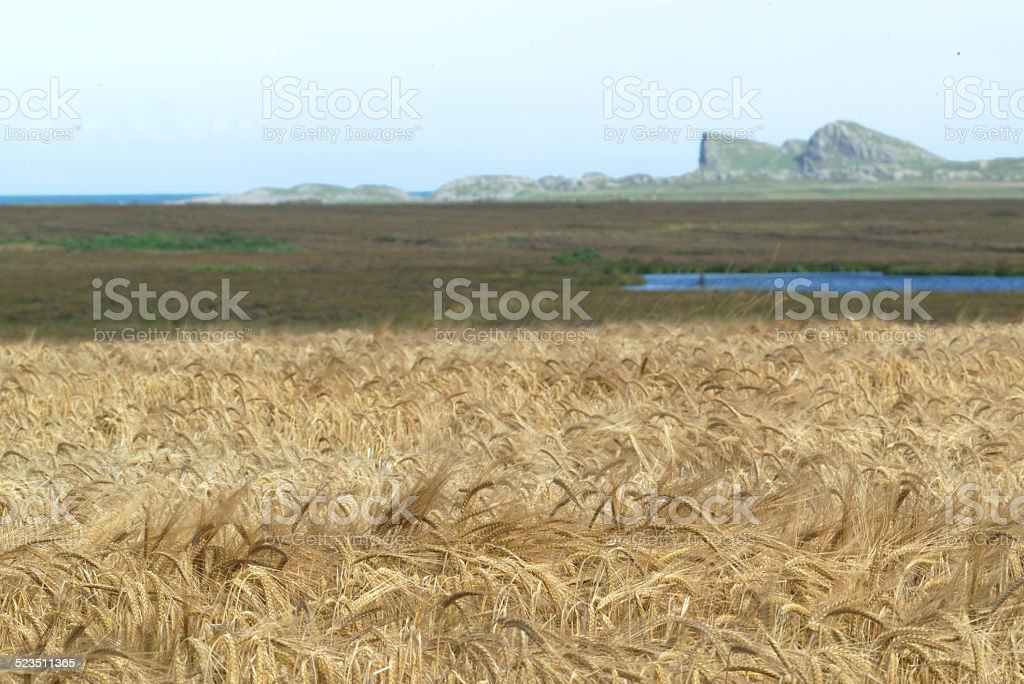Barley on Islay stock photo