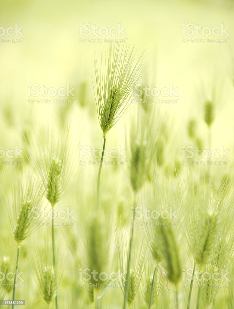 Barley royalty-free stock photo