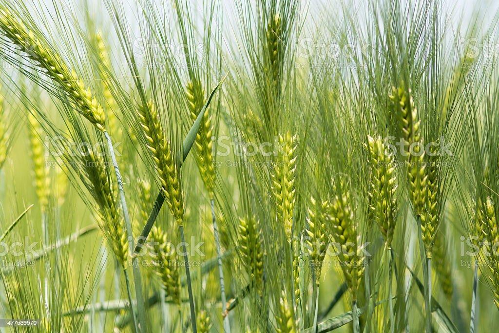 Barley royalty-free stock photo