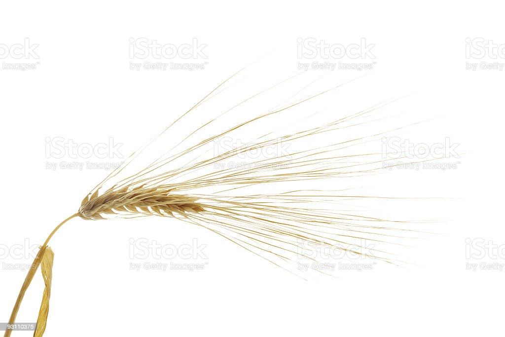 Barley stock photo